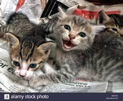 three newborn kittens meowing at the camera stock photo royalty