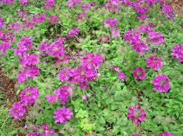Verbena Flower How To Grow Verbena Gardening Verbena Growing Verbena Vervain
