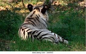 panthera tigris white tiger colchester stock photos panthera