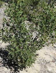 manzanita tree arctostaphylos manzanita real manzanita manzanita tree