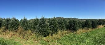 buy a real large tree live premium grade