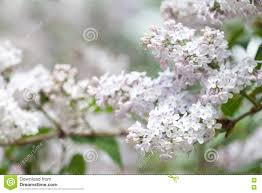 blooming white lilac bush soft focus shallow depth of field