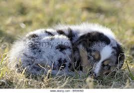 australian shepherd iq australian shepherd puppy sleeping stock photos u0026 australian