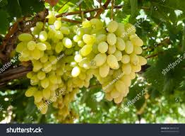 clusters white table grapes hang vine stock photo 58872116
