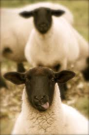 3106 best sheep images on pinterest sheep animals and farm animals