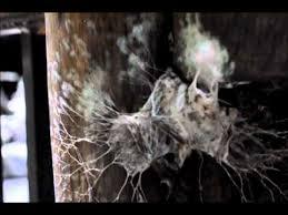 worlds deadliest spider northern tree dwelling funnel web