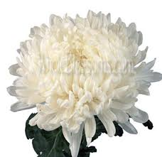 buy bulk white football mums flower for sale