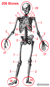 How Many Bones Form The Cranium The Total Number Of Bones In The Human Body