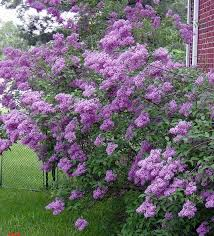 best 25 lilac tree ideas on lilacs growing flowers