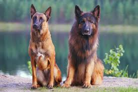 belgian shepherd dog photos illustrations et vidéos de