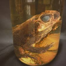 species of the month cane toad fur feathers fangs and frogs