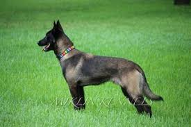 belgian shepherd ohio belgian malinois puppies and dogs for sale in usa