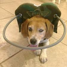 What Causes Dogs To Go Blind Sards Affects More Dogs Everyday Helpful Tips For Dog Owners