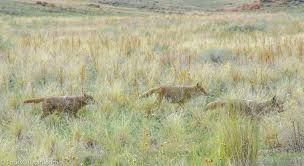 Utah wildlife tours images Antelope island wildlife safari tours of utah jpg