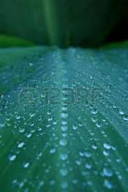 Cana Lilly Rain Drops Line Up On A Canalilly Leaf Stock Photo Picture And