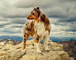 australian shepherd joint problems the australian shepherd hard working herding dog and friend to