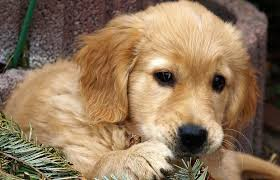 Comfort Retrievers For Adoption The Miniature Golden Retriever What Is It Exactly