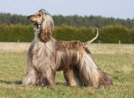 afghan hound king of dogs 1135 best i dogs images on pinterest