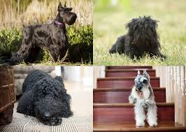 affenpinscher qualities dog breeds you might not know are related