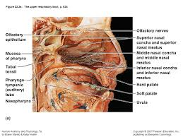 exercise 36 anatomy of the respiratory system image collections