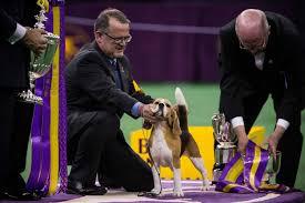 affenpinscher westminster 2015 westminster kennel club dog show winners through the years newsday