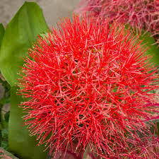 plants native to africa haemanthus bulbs scadoxus african blood lily u2013 easy to grow bulbs