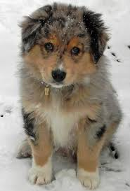 australian shepherd upkeep 472 best