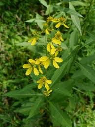 look closely at these two tall yellow flowering plants identify