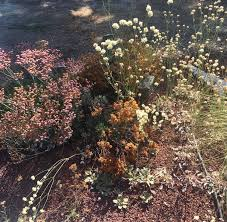 california native plant garden design high summer in the native plant garden the real dirt blog anr