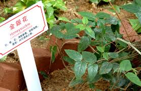 chinese herb garden promoting the sustainable use of asian