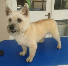 cairn hair cuts 52 best jp dog grooming images on pinterest dog grooming dog