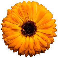 calendula flowers the power of calendula elim spa products international