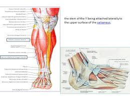 Foot Anatomy Nerves Foot Anatomy Dr Rania Gabr Ppt Video Online Download