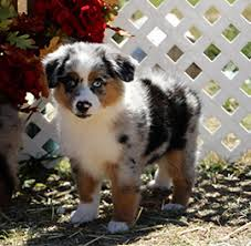 australian shepherd dog puppies home color country aussies