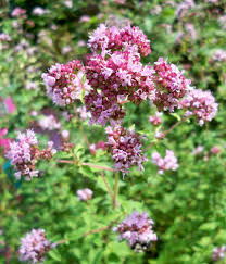 ornamental oregano gardening