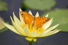 butterfly lotus flower stock photos 724 images