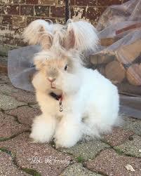 25 angora rabbit ideas fluffy bunny giant