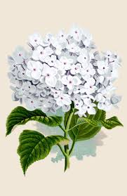 hydrangea white vintage instant printable white hydrangea the graphics fairy