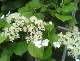 climbing hydrangea queenofsienna u0027s kitchen journal