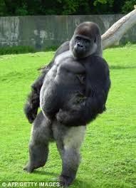 Chimp Meme - shaved chimp meme chimp best of the funny meme