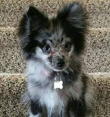summer haircut pomeranian 7 best pets images on pinterest dog haircuts pomeranian haircut