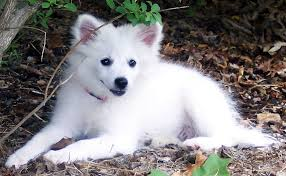 american eskimo dog male july 2011 list of dogs breeds