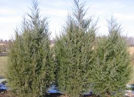native plants of arizona juniperus virginiana eastern red cedar native plants