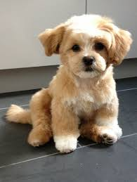 bichon frise fluffy perfect pairing cute overload bichon frise fluffy puppies and