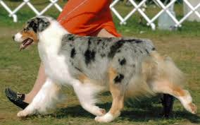 australian shepherd 1 year old megan ch mill creek u0027s maka mega legacy