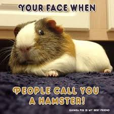 Guinea Pig Meme - your face when people call you a hamster best guinea pig board