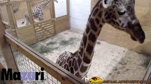 watch live giraffe cam at animal adventure park wtsp com