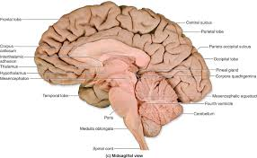 Image Of Brain Anatomy Ch 12 Gross Anatomy Of The Brain