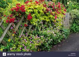 trellis with climbing roses front garden picket fence red rose