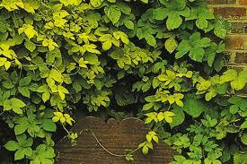 humulus lupulus aureus golden hops log house plants